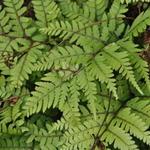 Athyrium otophorum 'Okanum' - Japanse wijfjesvaren