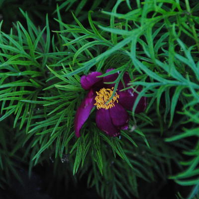Paeonia tenuifolia  -