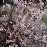 Abeliophyllum distichum Roseum Group - Abeliophyllum distichum Roseum Group - Sneeuwforsythia Roseum, Witte forsythia Roseum