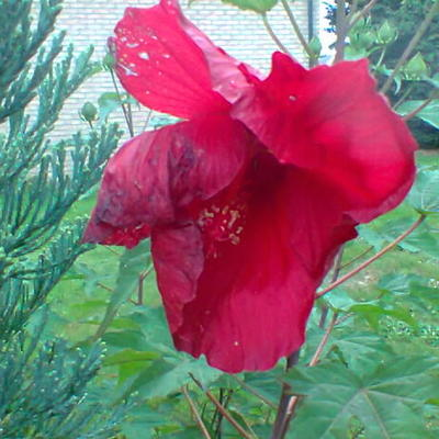 Hibiscus moscheutos 'EXTREME Oak Red' - Althaeastruik