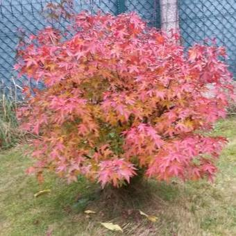 Acer palmatum 'Red Wine'