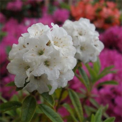 Rhododendron 'Arctic Tern' - Rododendron