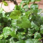 Ficus pumila - Ficus pumila - Kruipende vijg