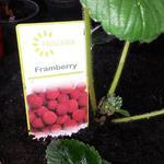 Fragaria x ananassa 'Framberry' - Frambozenaardbei - Fragaria x ananassa 'Framberry'