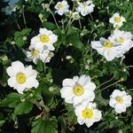 Anemone x hybrida 'Honorine Jobert' - Japanse anemoon / herfstanemoon