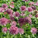Zeeuws knoopje - Astrantia major 'Roma'