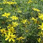 Coreopsis verticillata 'Zagreb' - Meisjesogen
