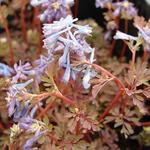 Corydalis flexuosa  'Purple Leaf' - Helmbloem