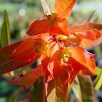 Wolfsmelk - Euphorbia griffithii 'Fireglow'