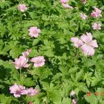 Ooievaarsbek - Geranium endressii 'Wargrave Pink'