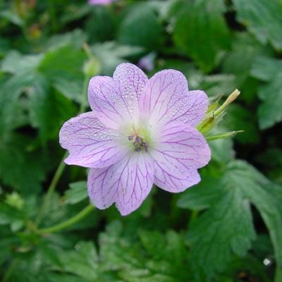Geranium versicolor -