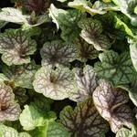 Heuchera 'Beauty Colour' - Purperklokje