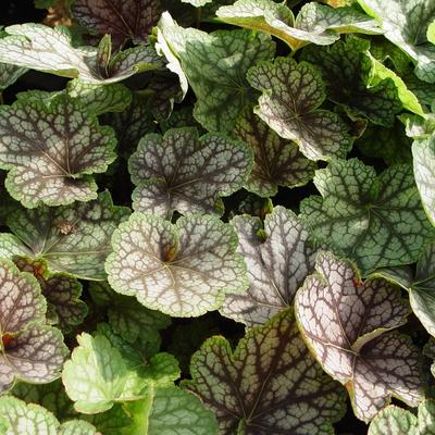 Heuchera 'Beauty Colour' - Purperklokje - Heuchera 'Beauty Colour'