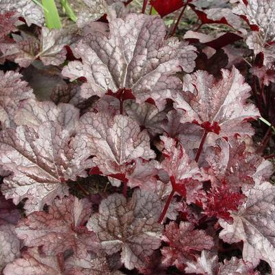 Heuchera 'Plum Pudding' - Purperklokje - Heuchera 'Plum Pudding'