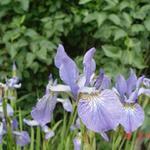 Iris sibirica 'Blue King' - Siberische lis - Iris sibirica 'Blue King'