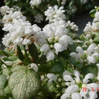 Lamium maculatum 'White Nancy