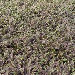 Leptinella potentillina 'Platt's Black' - Speldenkussenplant - Leptinella potentillina 'Platt's Black'