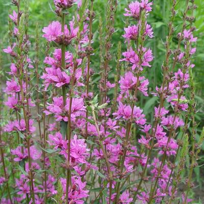 Lythrum virgatum 'Dropmore Purple' - Kattenstaart - Lythrum virgatum 'Dropmore Purple'