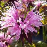 Monarda 'Beauty of Cobham' - Monarda 'Beauty of Cobham'