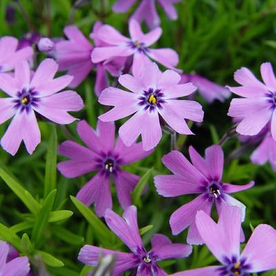 Phlox subulata 'Purple Beauty' - Kruipphlox - Phlox subulata 'Purple Beauty'