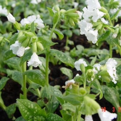 Pulmonaria officinalis 'Sissinghurst White' - Gevlekt longkruid
