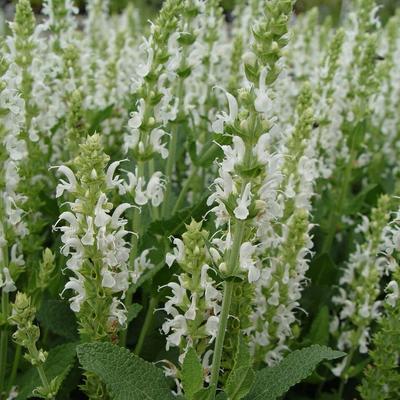 Salvia nemorosa 'Schneehügel' - Salie - Salvia nemorosa 'Schneehügel'