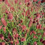Sanguisorba officinalis 'Red Thunder' - Pimpernel