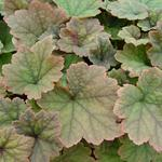 Mijterloof - Tellima grandiflora 'Rubra'