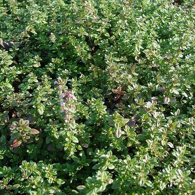 Thymus serpyllum -