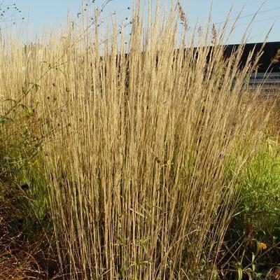 struisriet calamagrostis x acutiflora 39 waldenbuch. Black Bedroom Furniture Sets. Home Design Ideas