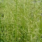 Deschampsia cespitosa 'Goldschleier' - Gewone smele