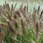 Pennisetum alopecuroides f. viridescens - Lampepoetsersgras - Pennisetum alopecuroides f. viridescens