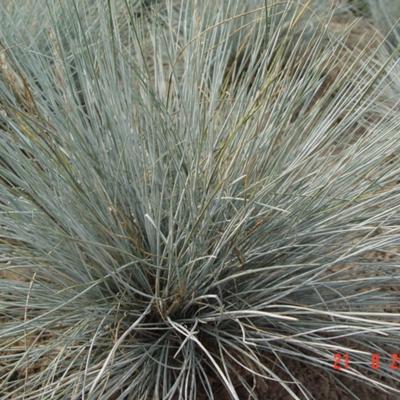 cultivars van hard zwenkgras - festuca cinerea, Gartenarbeit ideen