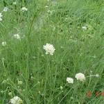 Scabiosa ochroleuca - Duifkruid/Schurftkruid