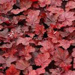 Heuchera 'Fire Chief' - Purperklokje