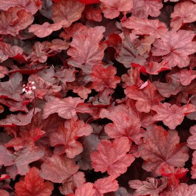 Heuchera 'Fire Chief' -