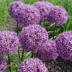 Allium  'Globemaster' - Allium  'Globemaster' - Sierui