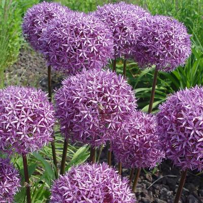 Allium  'Globemaster' -