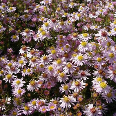 Aster ericoides 'Pink Cloud' - Herfstaster - Aster ericoides 'Pink Cloud'