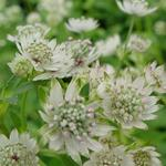 Astrantia major 'Star Of Billion'  - Zeeuws knoopje