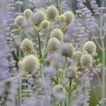 yuccabladige kruisdistel - Eryngium yuccifolium