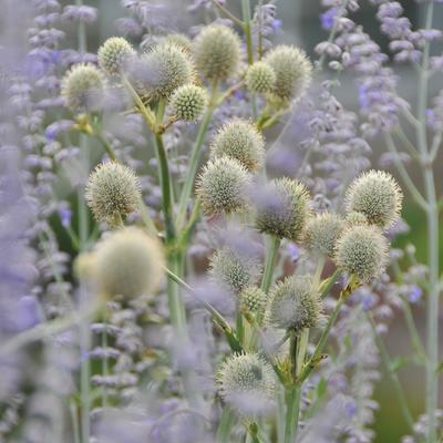 Eryngium yuccifolium -