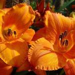 Daglelie - Hemerocallis 'Aten'