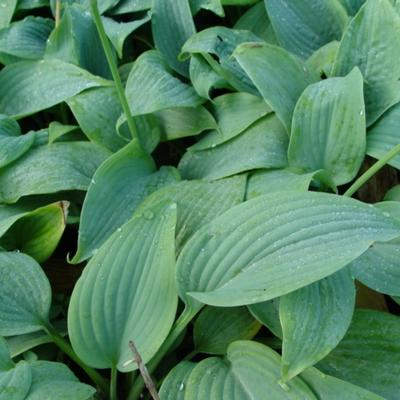 Hartlelie/Funkia - Hosta 'Fragrant Blue'