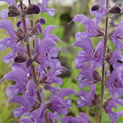 Salvia x sylvestris 'Rhapsody in Blue' -