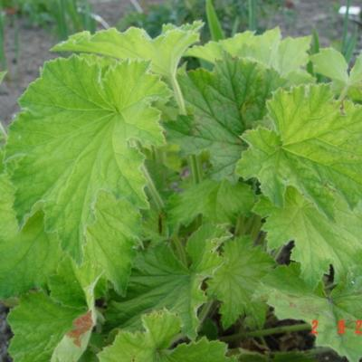 Heuchera villosa var. macrorhiza - Purperklokje - Heuchera villosa var. macrorhiza