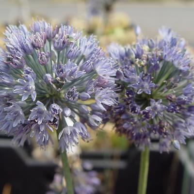 Allium wallichii -