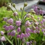 Allium cernuum - Amerikaanse look - Allium cernuum