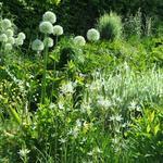 Allium 'Mont Blanc' - Sierui - Allium 'Mont Blanc'