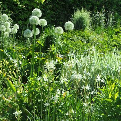 Allium 'Mont Blanc' -